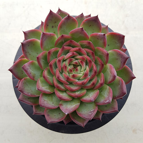 Echeveria Fire Pillar