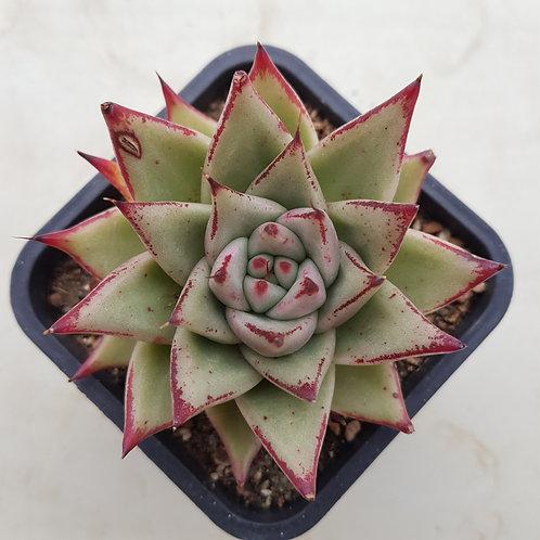 Echeveria Agavoides Ebony hybrid