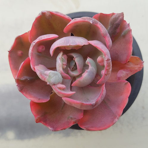Echeveria sp Beyonce Rainbow Variegated