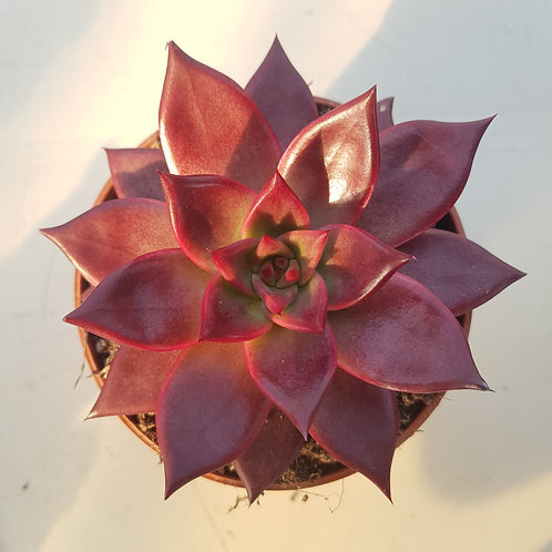 Echeveria Agavoides Looming