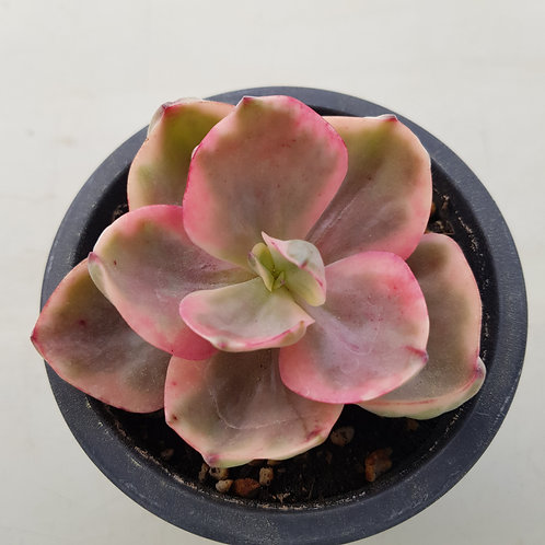 Echeveria Golden state Variegated