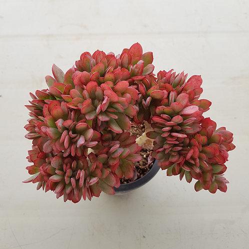 Echeveria cv. Jyulia Cristata