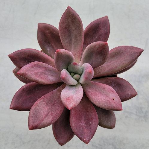 Echeveria sp (pink crew)