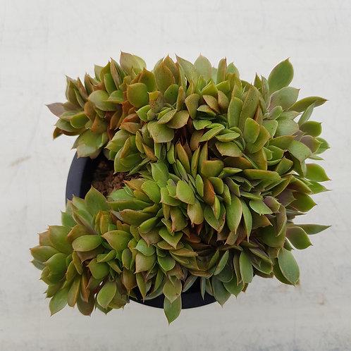 Echeveria Minigosaong Cristata