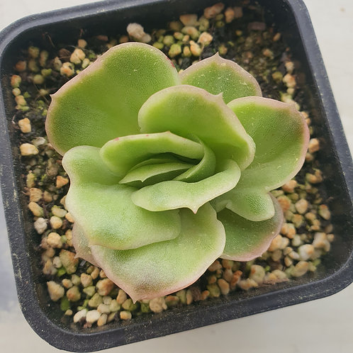 Echeveria Agavoides sp variegated