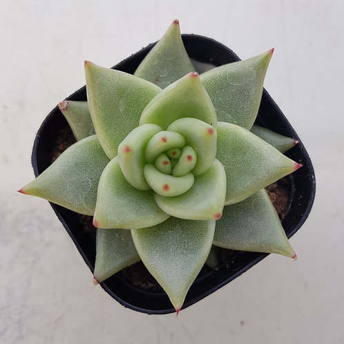 Echeveria Agavoides sp Aries