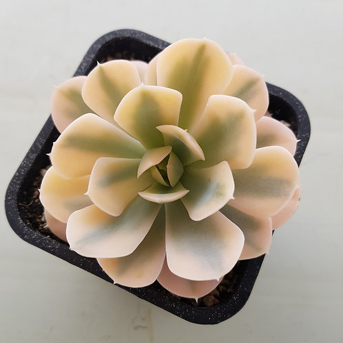 Echeveria Macebenia Variegated