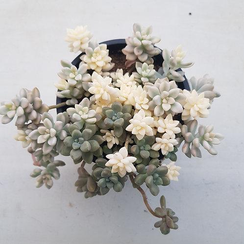 Graptopetalum Mirinae Variegated