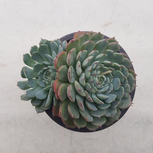 Echeveria Super Minima
