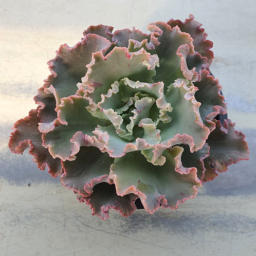 Echeveria cv Takasagono okina
