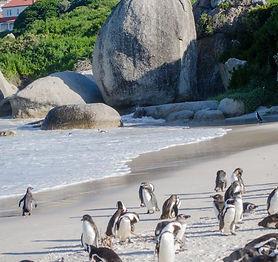 Penguins_at_boulders_beach_Lisa-Burnell-