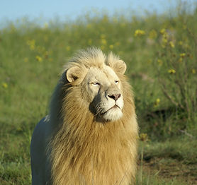 male-white-lion-pumba-where2stay.jpg