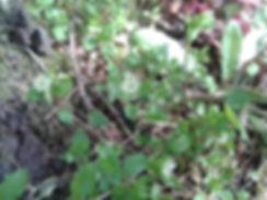 Mouron blanc