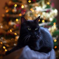 Chritmas Kitten