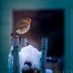 Winter Robin 3