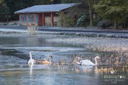 Swan Frost