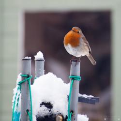 Winter Robin 2