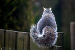 Squirrell 15