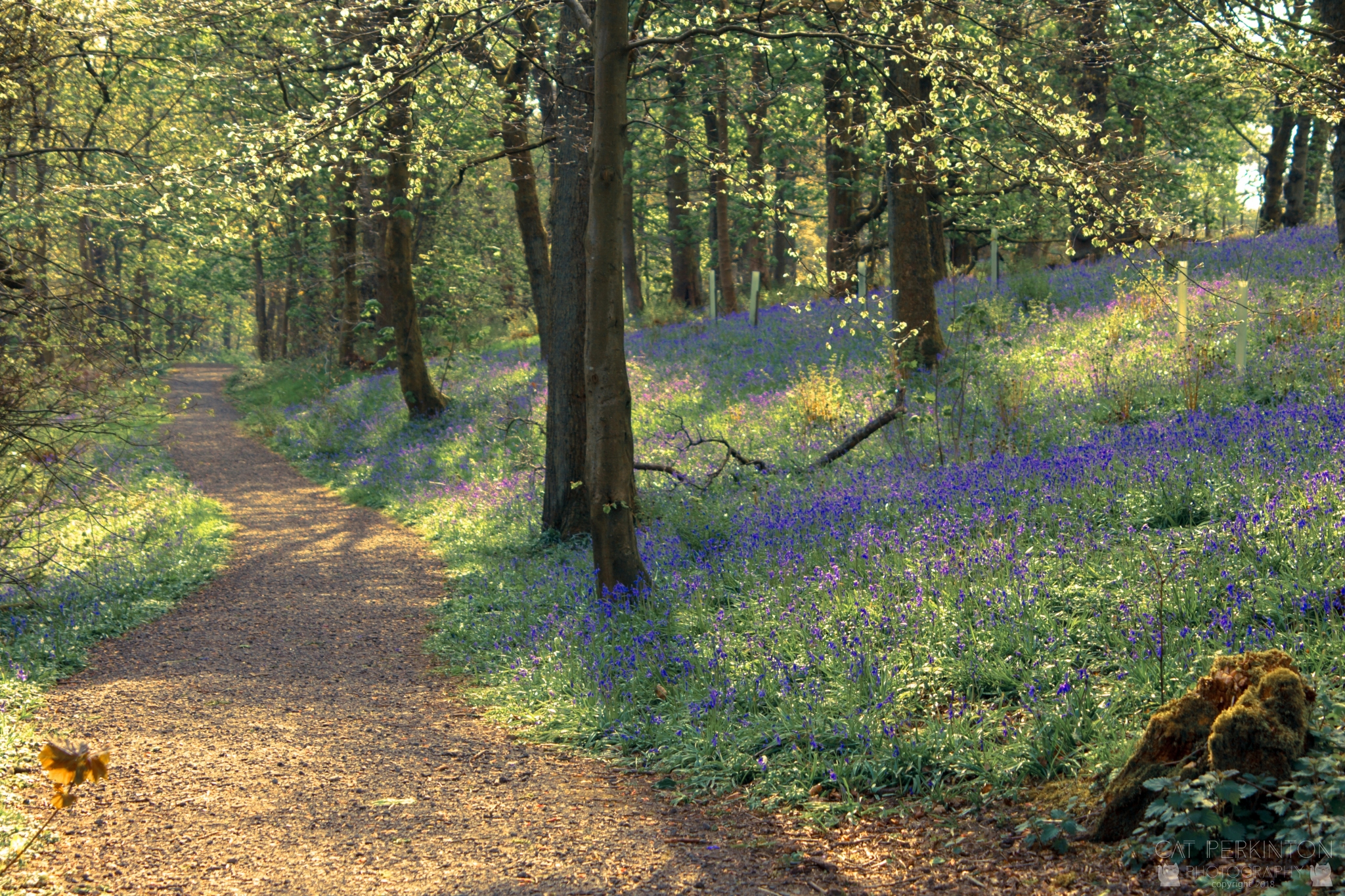 Bluebell Glow 2