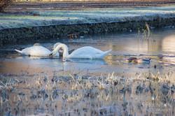Frosty Swans