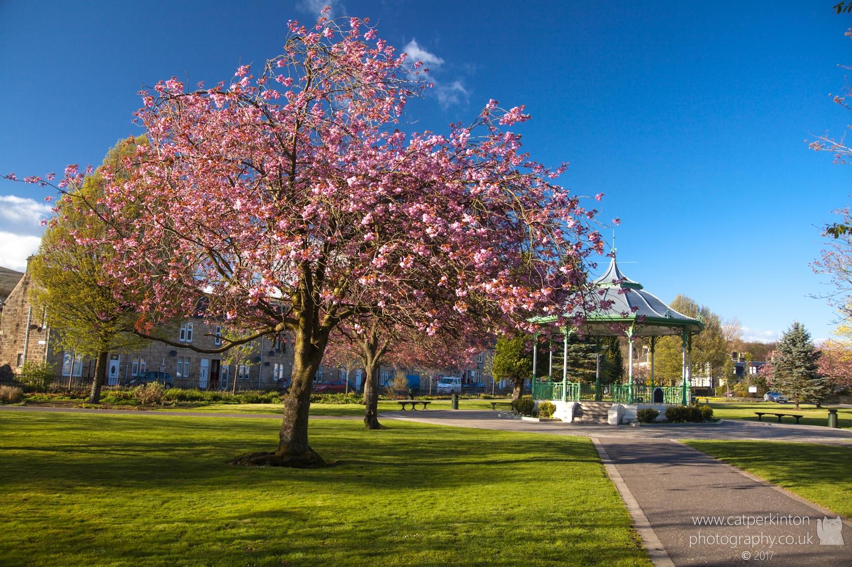 Bandstand Blossom