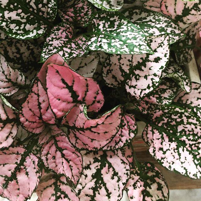 Pink Polka Dot 🌸🍃🌺 just to get a litt