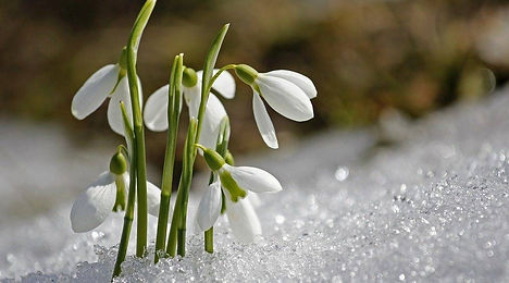 Imbolc snowdrops.jpg