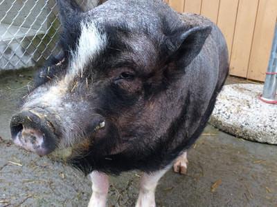 Dear Pork