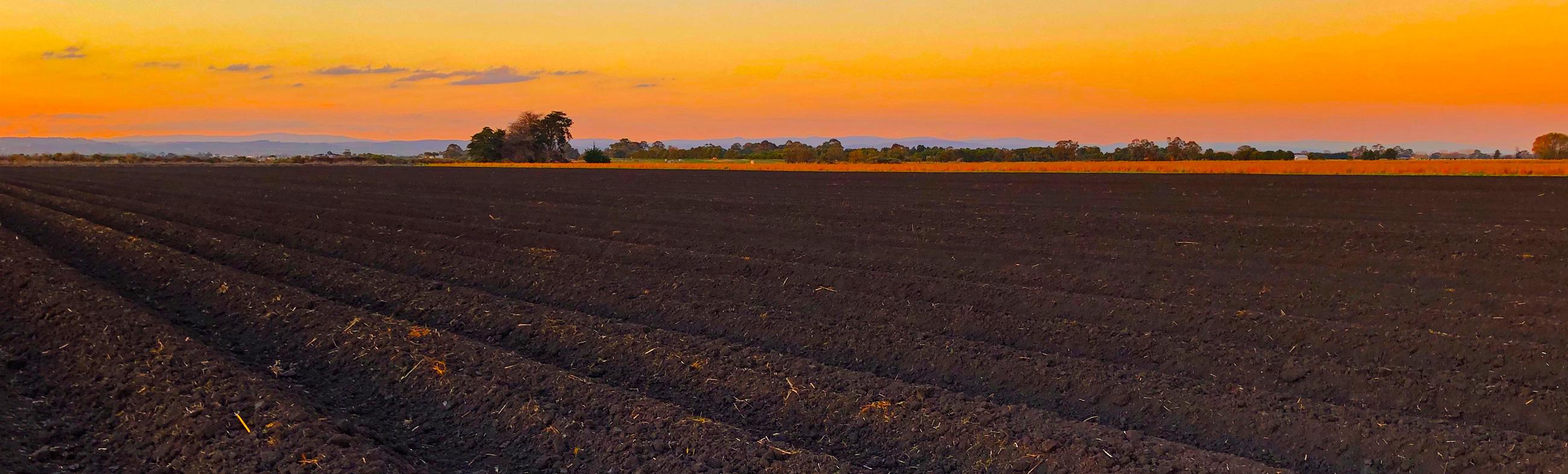 Asparagus farming sunset