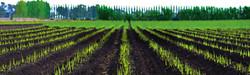 Asparagus Farming