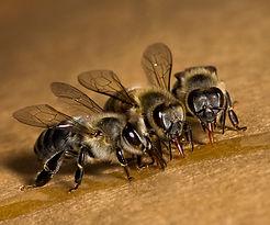 Bees_Drinking_Honey.jpg