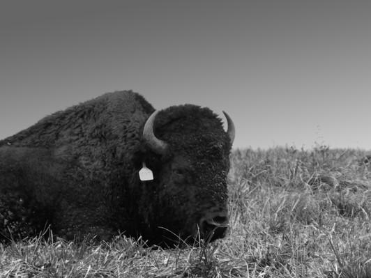 The Tired Buffalo