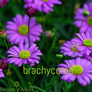 Brachycome