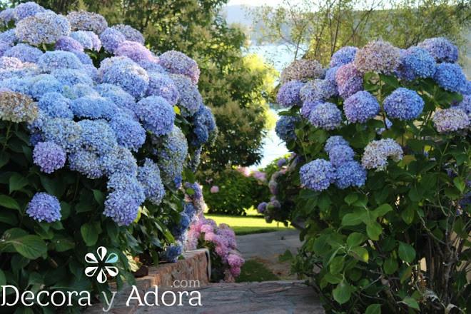 jardín con hortensias azules