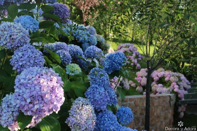 jardín con hermosas hortensias azules