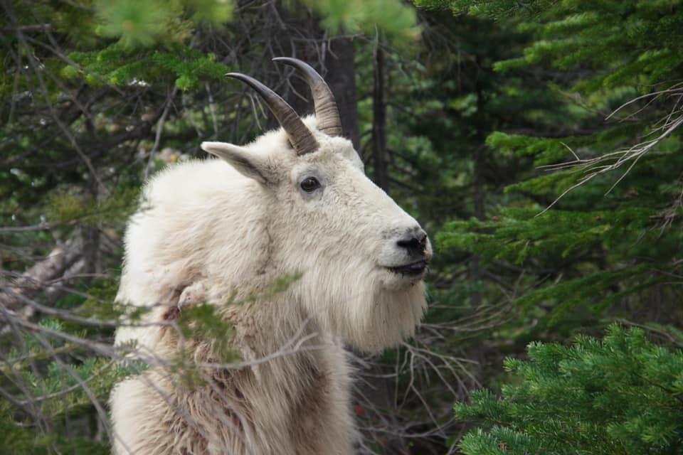 Mountain Goat at Colchuck Lake