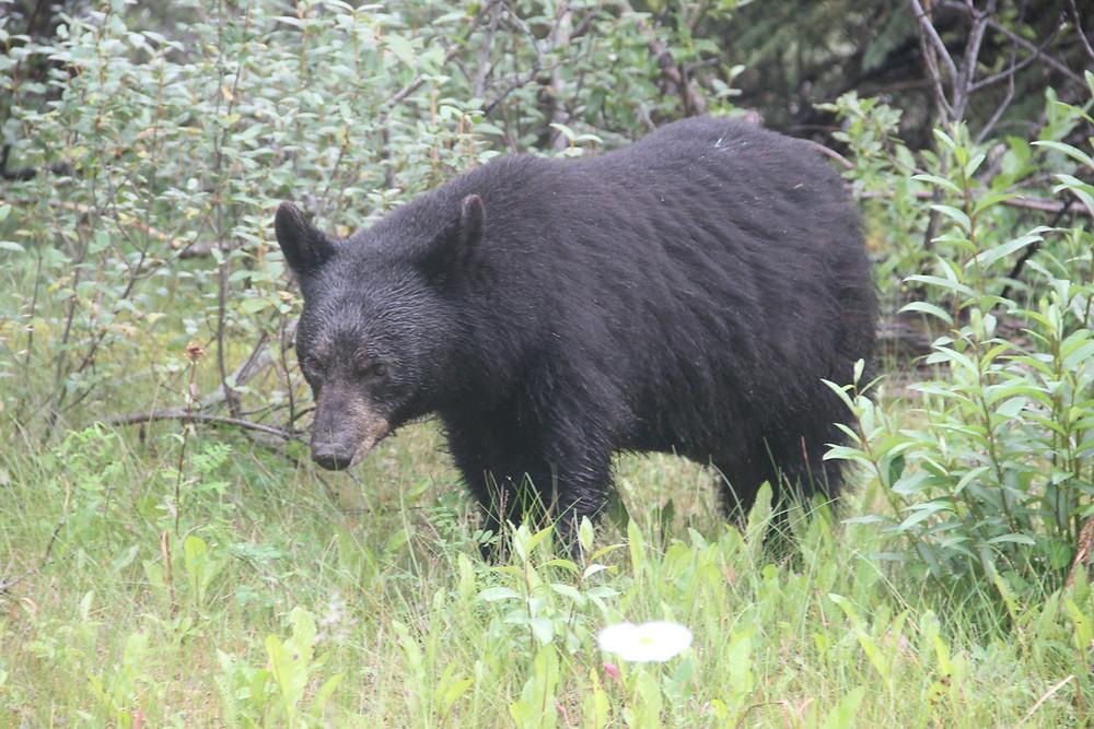 Bear spotting in Jasper National Park