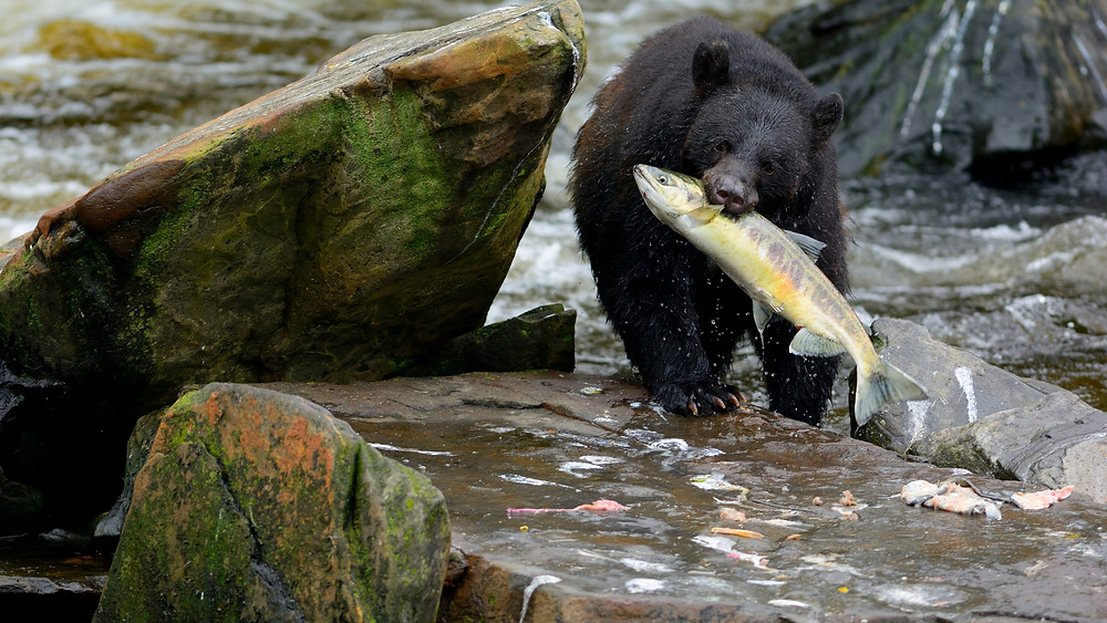 Bear eating salmon at salmon run goldstream