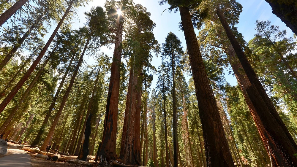 Tallest trees in US National Park