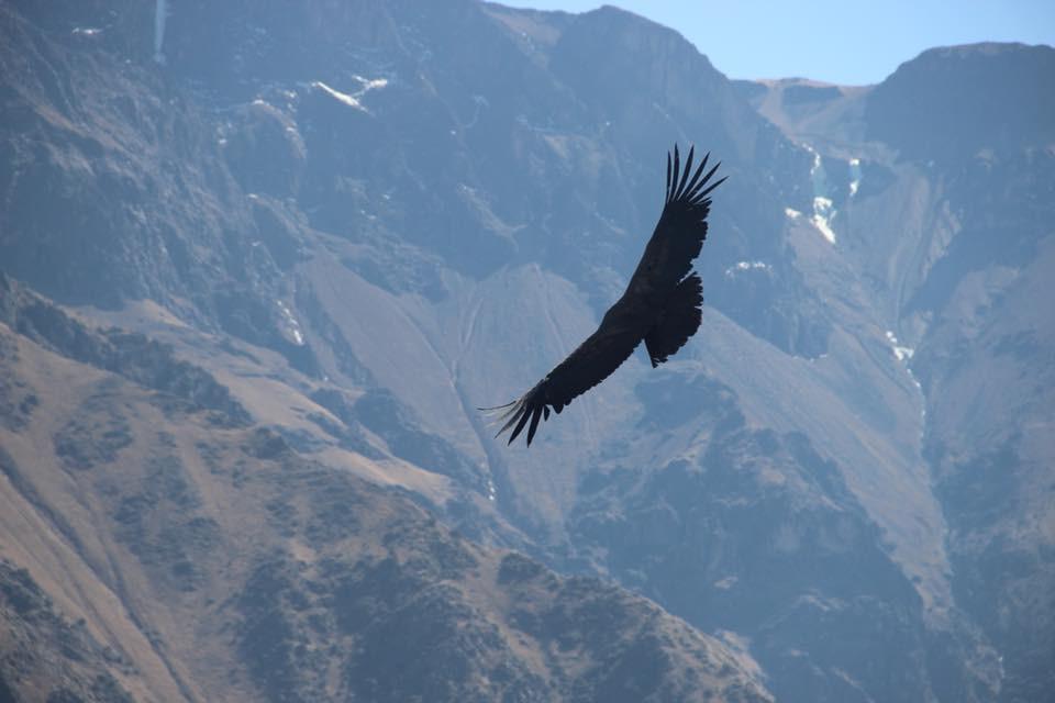 colca canyon condors in peru