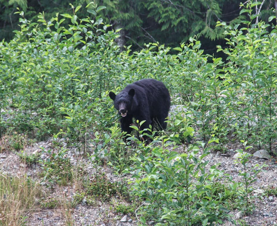 Black bear spotted in Strathcona Provincial Park