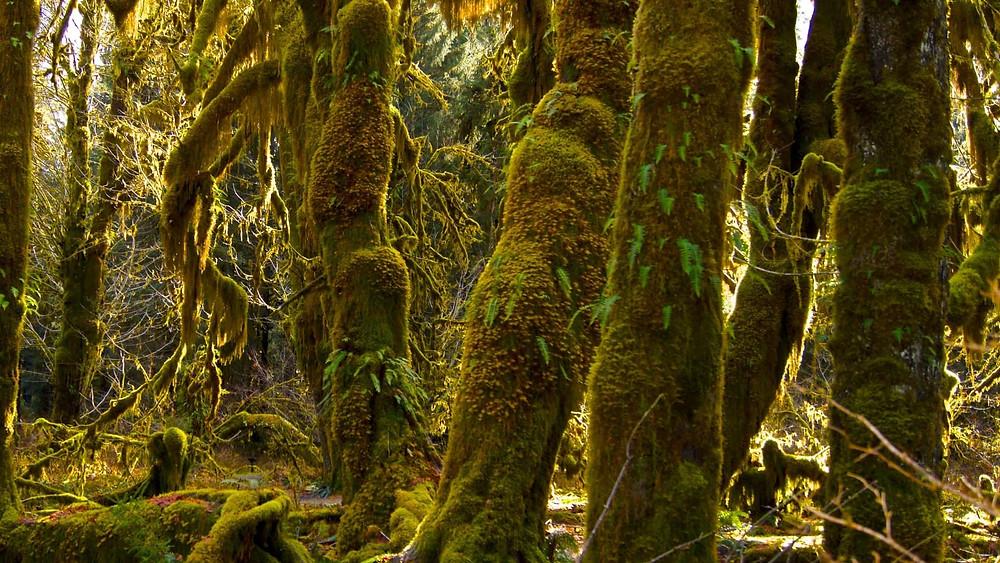 Olympic National Park best rainforest