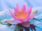 Lotus for medittion.jpg