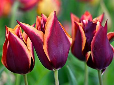 """В торговых центрах """"Сибирский городок"""" распродажа тюльпанов!"""