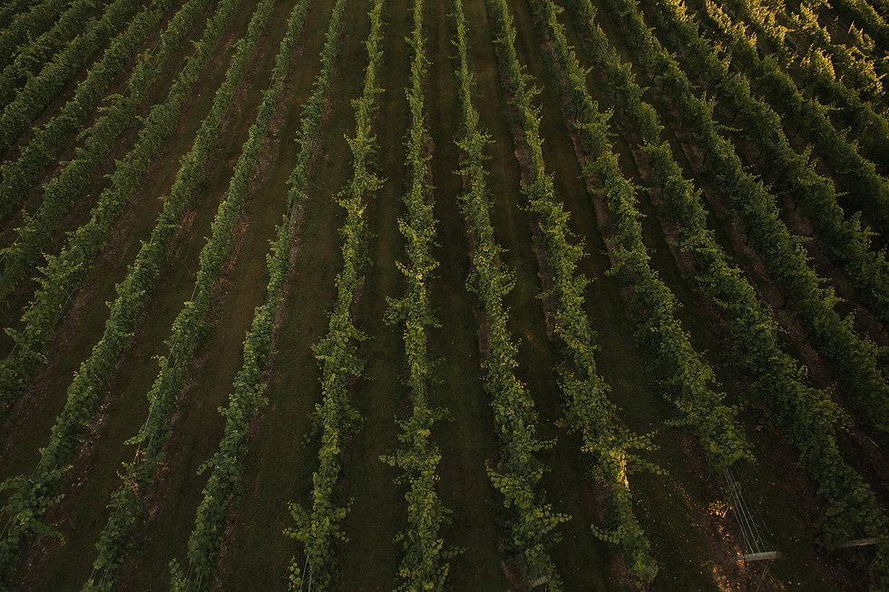 Vines copy.jpg