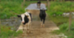 CowsStreamCrossing.jpg