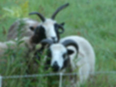 Close up of sheep on grass.JPG