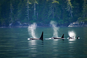 whales breaching.jpeg