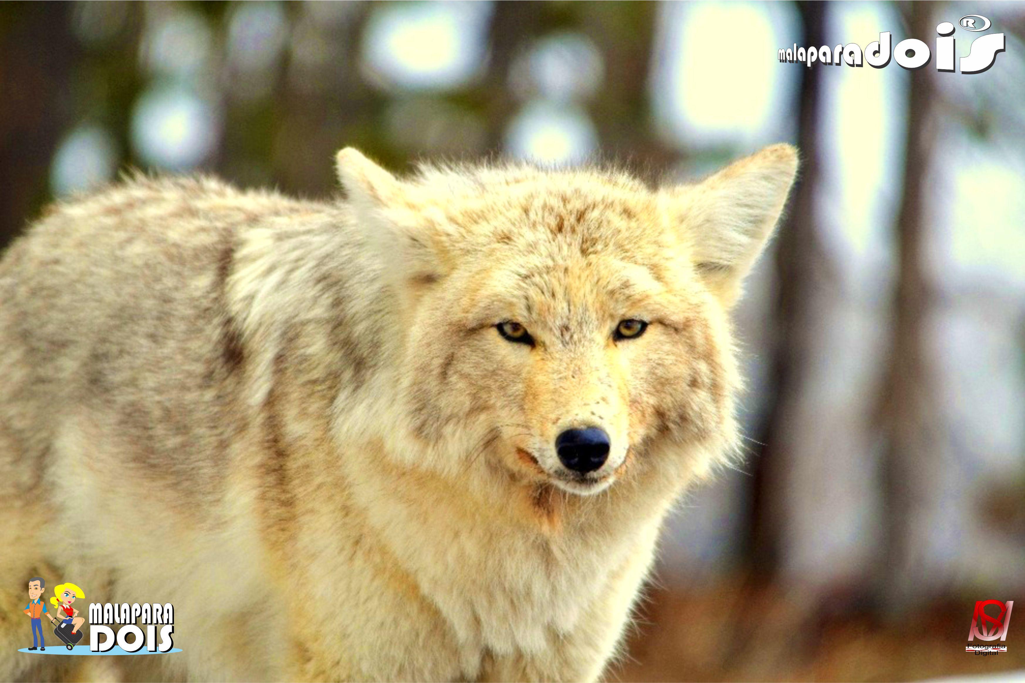 Lobo de Yaellowstone