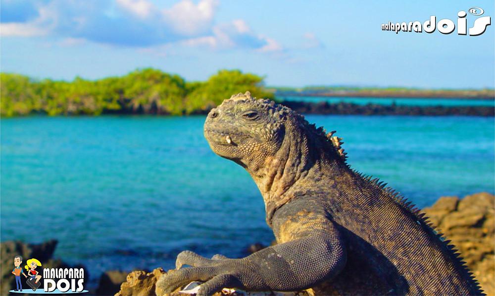 Iguana gigante em Isabela Isla